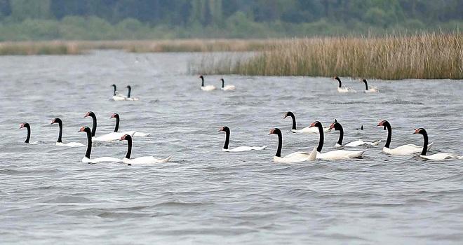Autoridades evalúan ataques de lobos marinos a cisnes en Santuario de la Naturaleza Carlos Anwandter