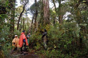 alerzales, sendero con lluvia, parque nacional alerce costero (1)