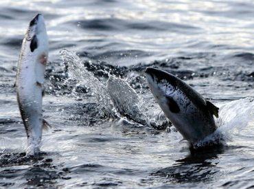 """Tomás Monge, director territorial de SalmonChile por robo de salmón:  """"Es preocupante el incremento de los robos a centros de cultivo y al transporte"""""""