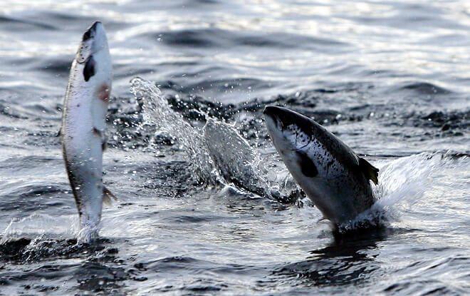 Aprueban proyecto de diputado Flores que permitirá a pescadores artesanales capturar salmones fugados