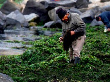 Subpesca avanza en la consolidación de la Política Nacional de Algas