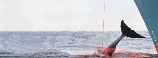 Diputado Flores y Morano plantearon en Comisión de Pesca oficiar a Cancillería por nuevo zarpe de barcos japoneses cazadores de ballenasen el Pacífico