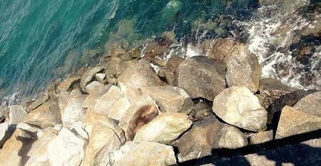 Sernapesca recuerda mantener distancia con lobos marinos que descansan en costas de la región