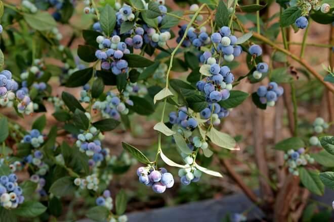 PTI Berries Biobio centro estudia cosechas bajo condiciones climáticas adversas para mejorar su exportación