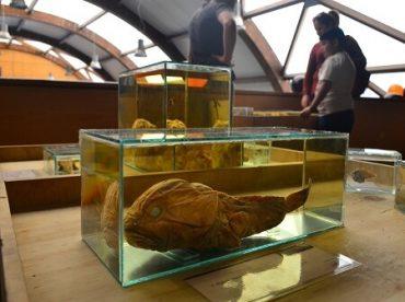 Especies de las profundidades se suman a la Expo Cetáceos en el CECs