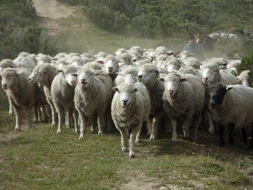 Mujeres rurales del Ranco mejoran sus técnicas de cuidado en ganado ovino y bovino