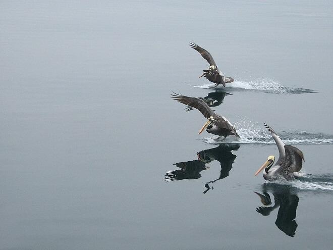 tres-pelicanos-omar-yanez-premio-flora-y-fauna-acuatica