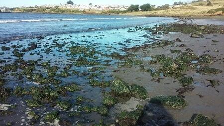 Alga lamilla: recuperando una tradición sustentable en Chiloé