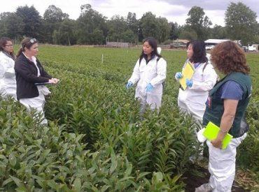 Taiwán supervisa protocolo de exportación de bulbos de lilium en la provincia de Osorno