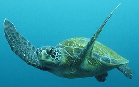 Tortuga rescatada por Sernapesca en Calbuco fue enviada a Antofagasta para su reinserción