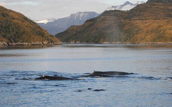 Seremi del Medio Ambiente de Magallanes invita a participar en conferencia sobre la ballena jorobada