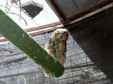 Ejemplares de fauna silvestre rescatados de zonas afectadas por incendios se recuperanen Centro de Rescate de la UdeC Chillán