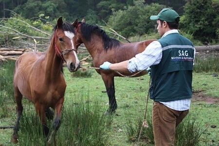 Operativo sanitario atendió a 250 animales equinos y bovinos en Coelemu para resguardar efectos de incendios forestales