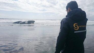 Sernapesca interpuso denuncia por presunta intervención humana en muerte de ballena Franca Austral en Maullín
