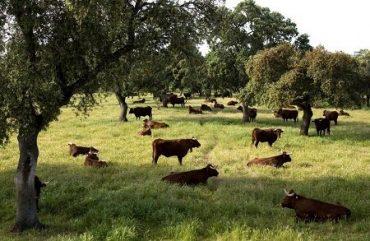 Bovinos rematados en ferias y producción de carne en vara registró aumento en Región del Bío Bío