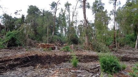 Corte de Valdivia ordena a empresa pagar indemnización por tala ilegal de bosque nativo y reforestar sector en Puyehue