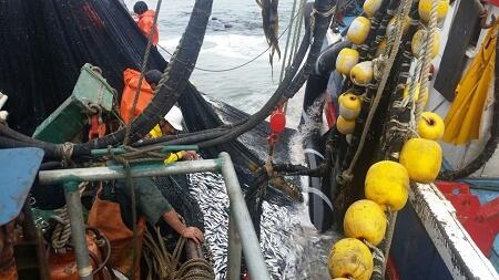 Oceana valora decisión de Subpesca de aumentar moderadamente la cuota de la sardina