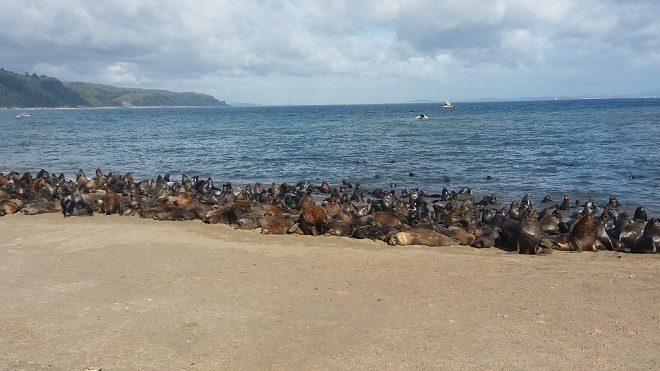 Llaman al autocuidado ante masiva presencia de lobos marinos en Tomé