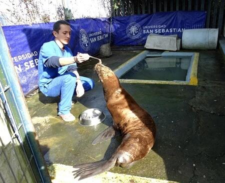 Profesionales del Hospital Clínico Veterinario impactados por nuevo caso de maltrato a lobo marino