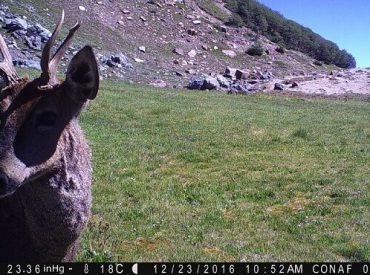 Nueva familia de huemules detectada porCONAF en la Reserva Nacional Ñuble