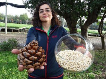 Pino piñonero: el auspicioso negocio del fruto seco más caro del mundo