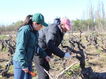 SAG levantó áreas reglamentadas por polilla del racimo de la viden sectores de las comunas de Coihueco, Ránquil y Quilleco