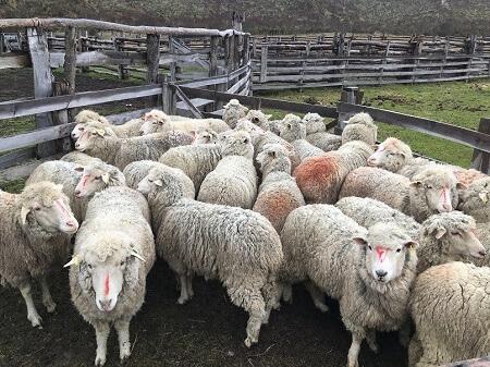 Termina primera etapa de vacunación antihidatídica ovino en Provincia Capitán Prat