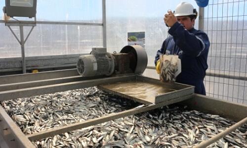 Sernapesca informó apertura de segunda temporada de pesca de la sardina y anchoveta