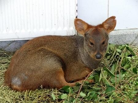 Hembra de pudú tratada en U. San Sebastián Concepción fue liberada en zona aledaña a bosque