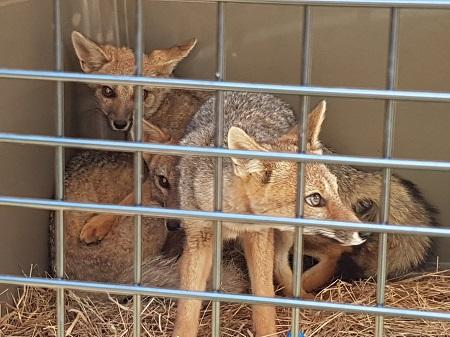 SAG y USS  liberan tres crías de zorro chilla en Parque Alerce Andino