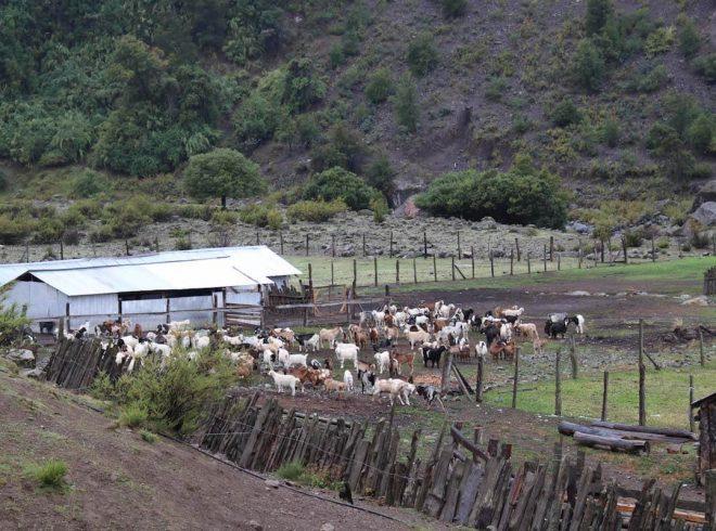 Tradición ancestral: últimos rebaños de animales regresan desde veranadas enla Región del Biobío