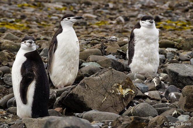 """Científicos detectan restos de microplásticos en pingüinos de la Antártica: """"No se sabe aún lo que podrán provocar en los animales de la región"""""""