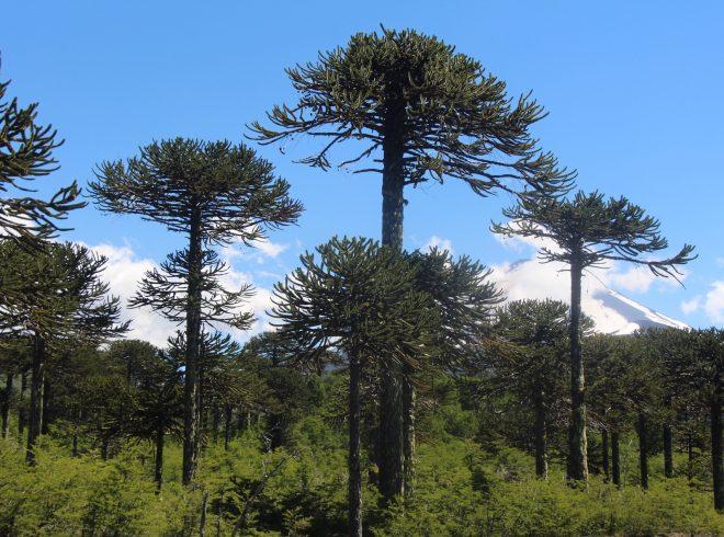 De Urresti destacó declaratoria de especie en extinción para la araucaria