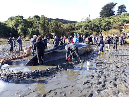 Chiloé: exitoso operativo permitió salvar ballena varada en Quinchao