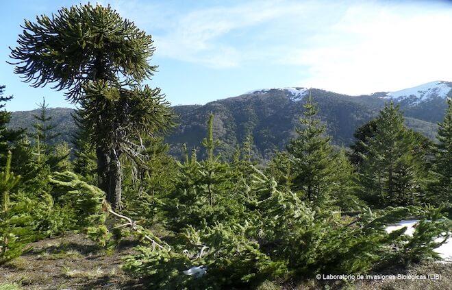 ¿Se preocupan los chilenos por la invasión de pinos?