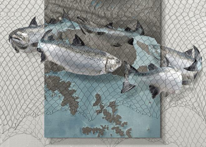"""Los """"salmones zombie"""" que pretenden llegar a Tierra del Fuego"""