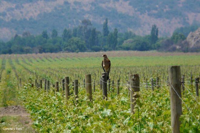 Iniciativa chilena liderada por IEB y UACh es premiada en Inglaterra por promover la conservación de la naturaleza en viñas