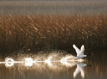 Científicos de la Universidad Austral analizan ausencia de Luchecillo y turbidez del agua en Humedal del Río Cruces
