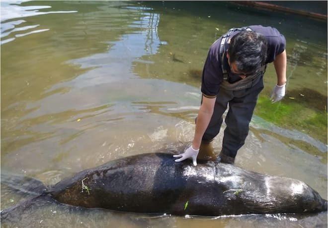 Sernapesca trasladó a lobo marino muerto hallado en ribera de río Valdivia
