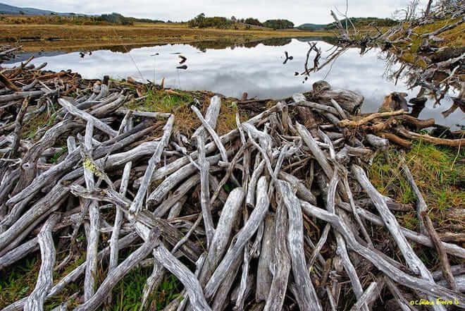 Estudio evaluará impacto socioeconómico de la invasión del castor en la Patagonia chilena