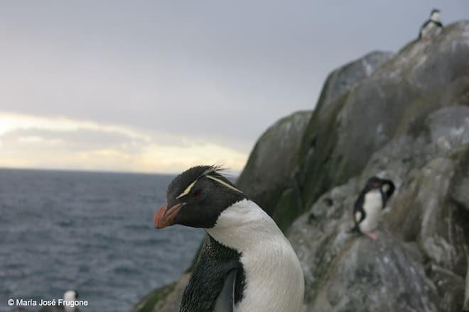 El misterio de los pingüinos crestados