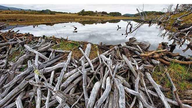 Investigarán impacto sociocultural y económico del castor en Magallanes