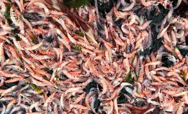 Científicos registran masiva varazón de krill en la Antártica