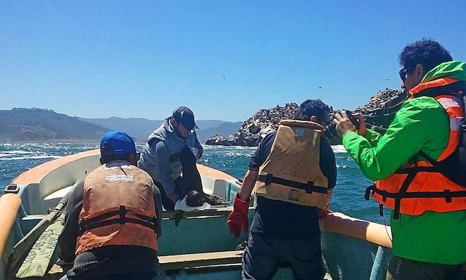 Más de 70 rescates de lobos marinos se han efectuado este mes en Cobquecura
