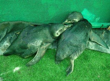 Nueve pingüinos han varado este año en playas de la Región del Biobío