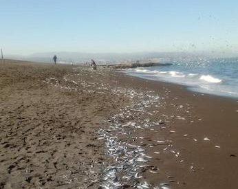Sernapesca realizó muestreos para dilucidar causa de varazón de sardinas en playa de Coronel