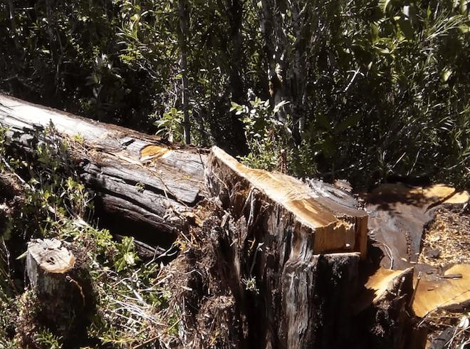 CONAF decomisa 25 000 tejuelas de alerce en las comunas de Puerto Varas y Frutillar