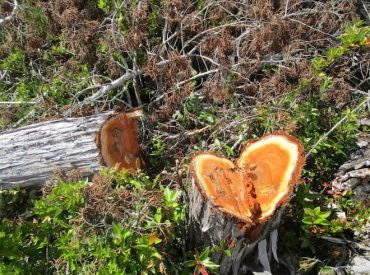 CONAF detectó corta ilegal de 177 alerces vivos en la comuna de Maullín