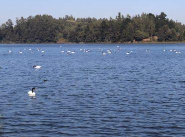 Municipio, Armada, SAG y Sernapesca acuerdan protocolo de fiscalización para proteger cisnes de Laguna Grande