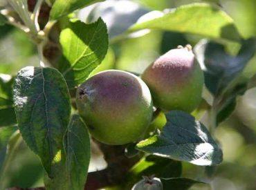 Lanzan estudio que busca mejorar productividad y competitividad de productos derivados de la manzana en Los Ríos